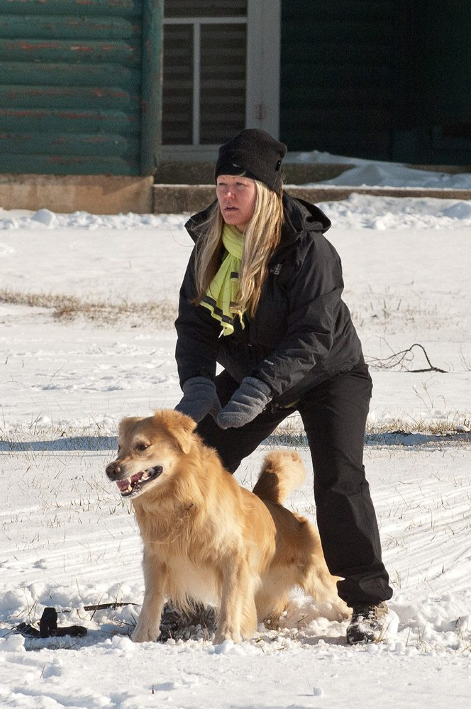 Golden Lure Coursing in the Snow