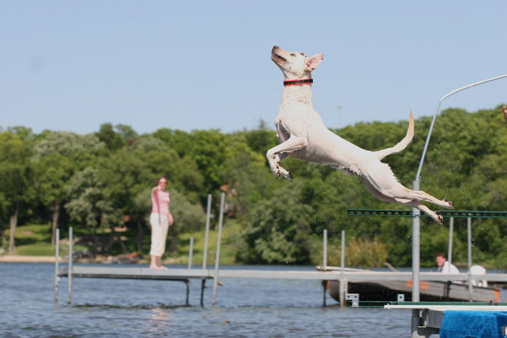 Yellow Lab Dock Diving